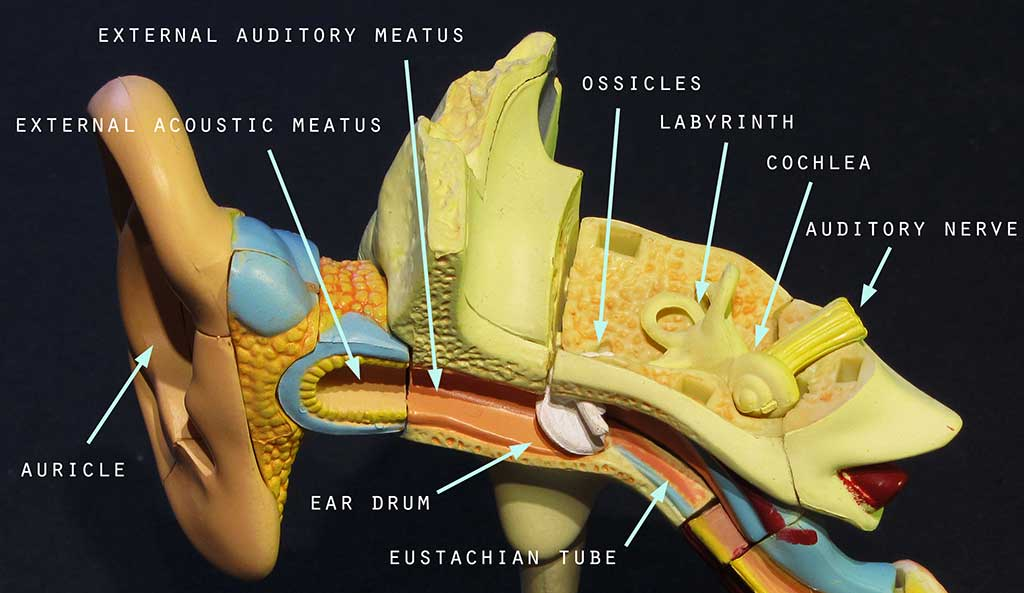 Anatomy_of_the_ear_annotated by .